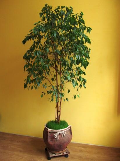комнатное растение, комнатное дерево